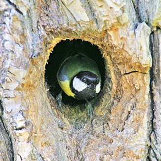 Great Tits (Parus major) nest in holes in trees, but walls or nest-boxes do just as well