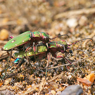 Green Tiger Beetles (Cicindela campestris) mating