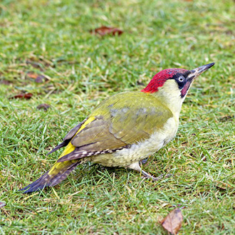 Green Woodpeckers (Picus viridis) are frequently seen on lawns
