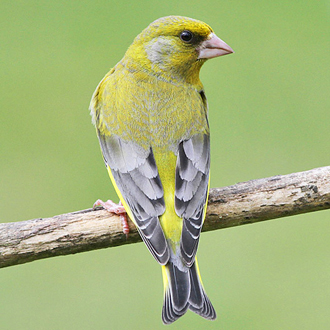 The beak of the Greenfinch (Carduelis chloris) can exert considerable pressure