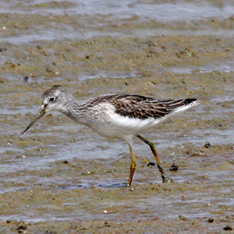 Greenshank (Tringa nebularia) are passage or wintering birds in the south