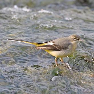 Grey Wagtails (Motacilla cinerea) are commoner further north