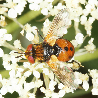 Gymnosoma rotundatum is a rare tachinid fly preying on Shieldbugs