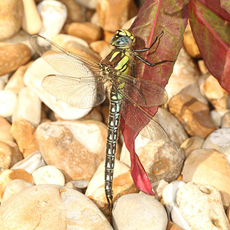 The Hairy Dragonfly (Brachytron pratense) is the earliest to appear each year