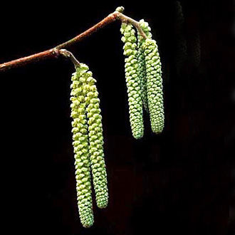 Hazel catkins (Corylus avellana) are among the first of the year