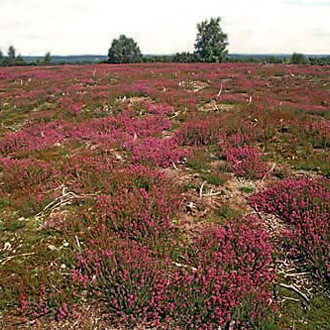 Regenerating Heather (Calluna vulgaris) provides a good habitat