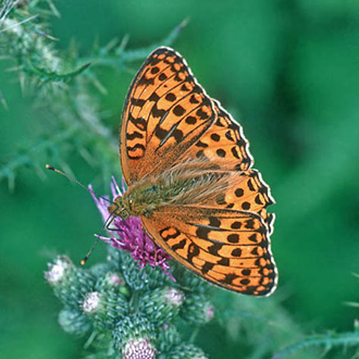 The High Brown Fritillary (Argynnis adippe) is now absent from the area covered by this website
