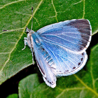 Holly Blue female (Celastrina argiolus) on one of the two main foodplants, Ivy (Hedera helix)