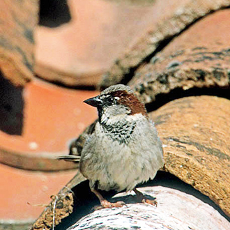 House Sparrows (Passer domesticus) are under pressure