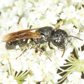 Female Hylaeus cornutus with the distinctive all-black face and prongs