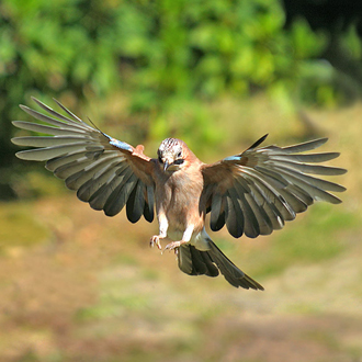 Jays are typically intelligent like all Corvids