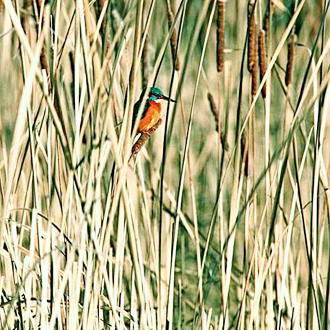 Kingfisher (Alcedo atthis) in hunting mode in a reedbed