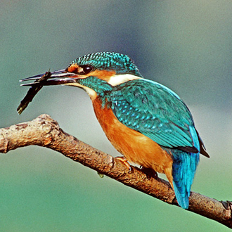An adult male Kingfisher with a uncommon item of food, a Caddis fly nymph