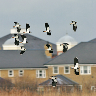 Lapwing (Vanellus vanellus) in flight at Wetland Centre, London