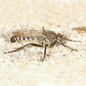 Spring Heath Robberfly (Lasiopogon cinctus), the earliest of the family to appear each year