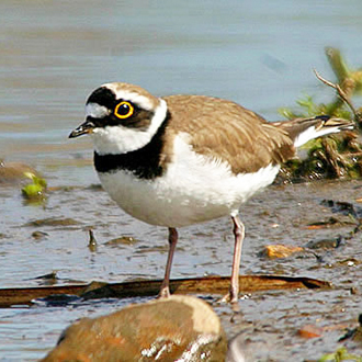 Little Ringed Plovers (Charadrius dubius) are recent colonists