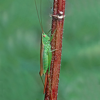 The Long-winged Conehead (Conocephalus discolor) has undergone a rapid expansion