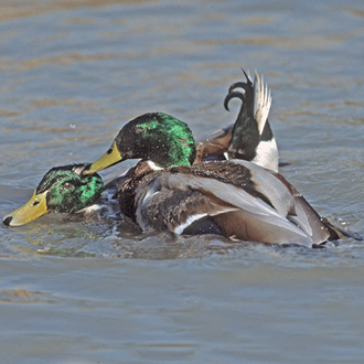 Fights between Mallard (Anas platyrhyncos) drakes can be ferocious