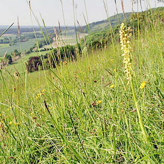 Man Orchid (Orchis anthropophorum) on the North Downs