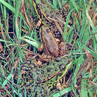 Marsh Frogs (Rana ridibunda) were introduced into Britain in 1935