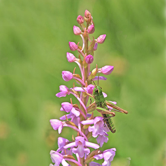Fragrant Orchid (Gymnadenia conopsea) and Meadow Grasshopper