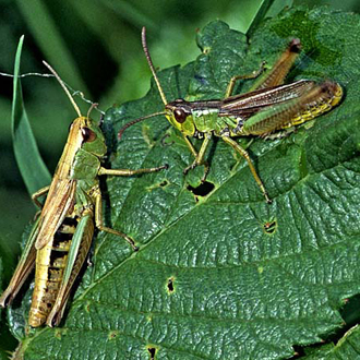 Male Meadow Grasshopper (Chorthippus parallelus) stridulating with female (left)