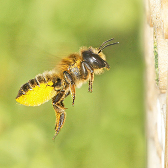 Leaf-cutter bee Megachile ligniseca returning to nest with pollen