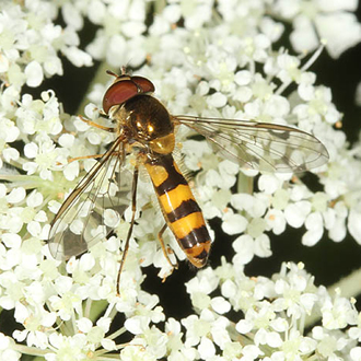 Male Meliscaeva cinctella