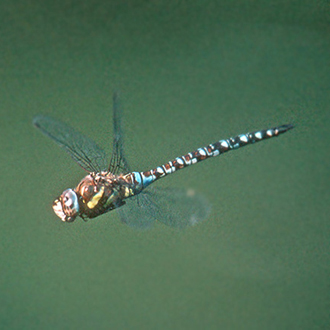 Migrant Hawkers (Aeshna mixta) have done very well over the last 60 years