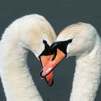 Mute Swans tend to mate for life but there can be 'dumpings'