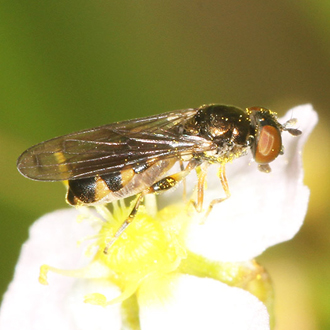 Neoascia interrupta, a scarce hoverfly closely associated with wetlands