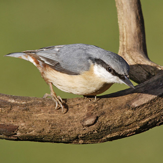 Nuthatches (Sitta europaea) are high in the pecking order among smaller birds