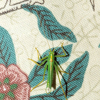Oak Bush-cricket male (Meconema thalassinum) in the sitting room