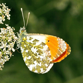Orange Tip (Anthocharis cardomines), one of the first species to hatch in the spring