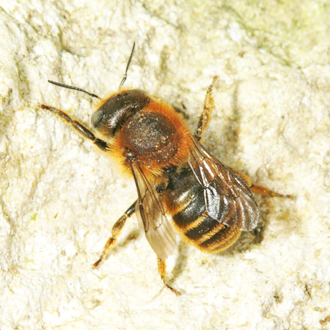 Osmia aurulenta uses the same habitat as Osmia bicolor but is scarcer