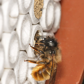 Osmia bicornis sealing one of her nests with mud