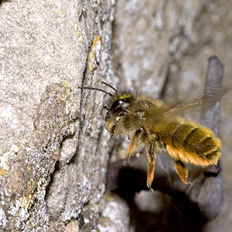 The Red Mason Bee (Osmia bicornis) is another striking species that nests around houses
