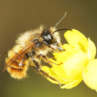 Male Osmia bicornis can emerge several weeks before females, as with this one in 2012