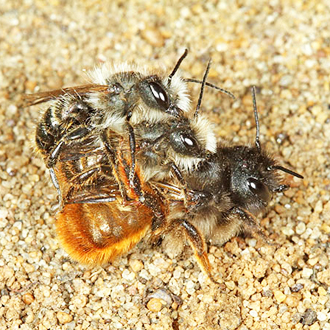 Male Red Mason Bees harry females mercilessly trying to pair with them
