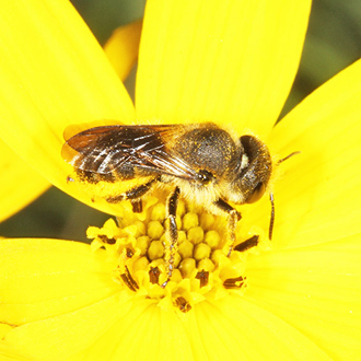 Osmia leaiana tend to prefer yellow Aster flowers for gathering pollen