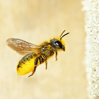Osmia leaiana flying back to her nest in a cut log with pollen