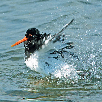 Oystercatcher (Haematopus ostralegus) taking a bath