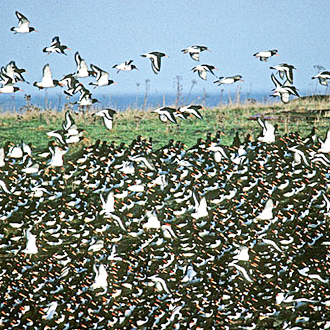 Oystercatchers mass on the coast in the winter