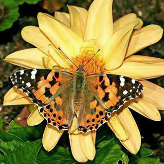 A migratory Painted Lady (Cynthia cardui) on a dwarf Dahlia
