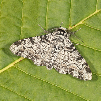 Peppered Moth (Biston betularia)