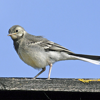 Pied Wagtail immature