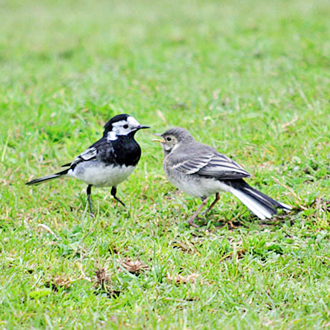Adult Pied Wagtail feeding one of its young