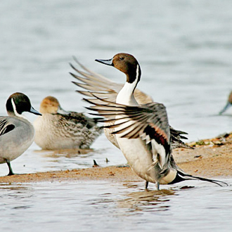 A wintering group of Pintail (Anas acuta) with male flapping wings