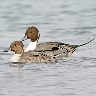 Pintails breed mainly in Finland and Russia