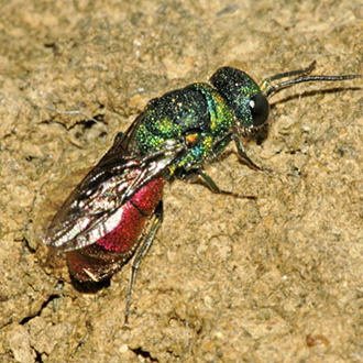 Pseudospinolia neglecta is a scarce cuckoo wasp preying on Odynerus species
